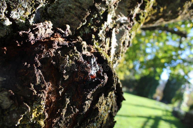 树汁渗出 免版税图库摄影