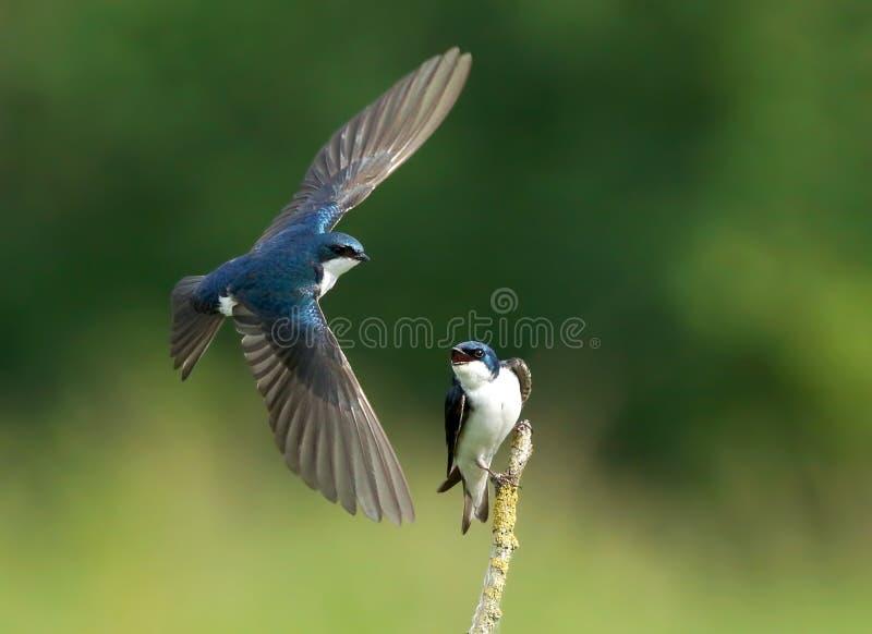 树燕子-双色的Tachycineta 免版税库存图片