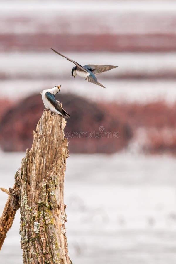 树燕子 免版税图库摄影