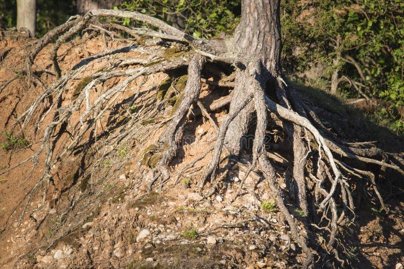 树特写镜头根在砂岩峭壁的 库存图片