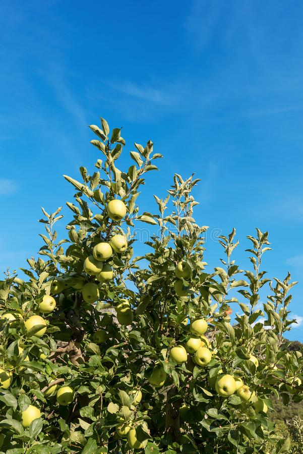 树用绿色苹果-特伦托自治省意大利 免版税库存照片
