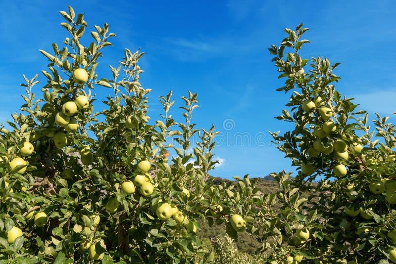 树用绿色苹果-特伦托自治省意大利 免版税库存图片