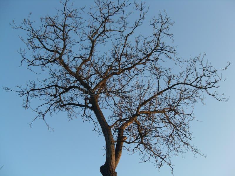 树的冠没有叶子的 免版税库存图片
