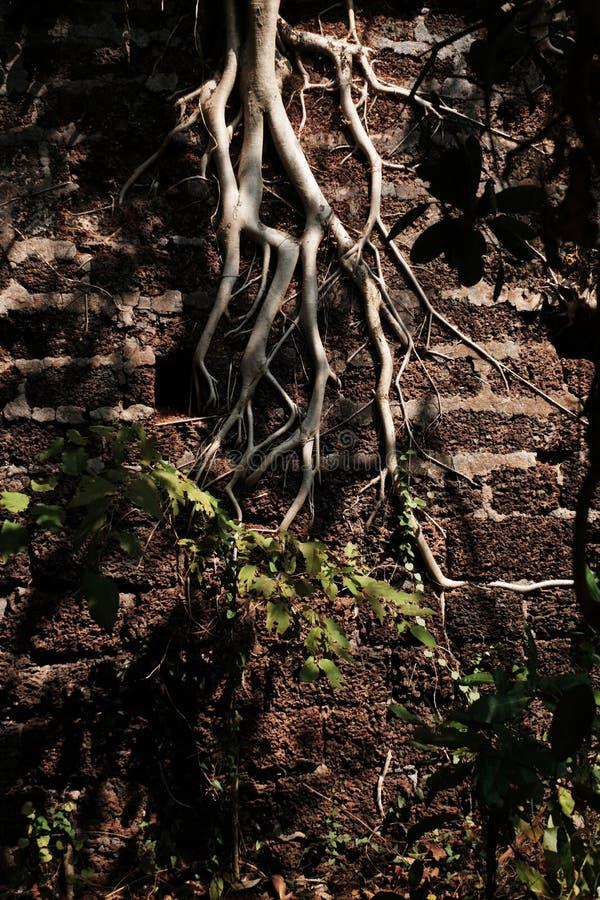 树的分支在墙壁上的 库存照片