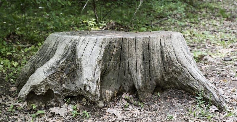 树的切断残根的表面 旧木箱背景 库存照片