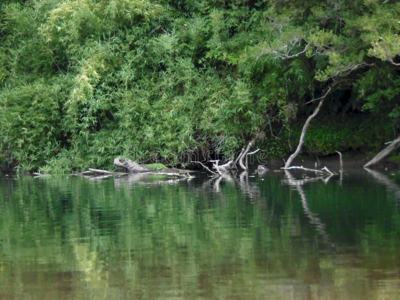树的反射在河 免版税库存照片