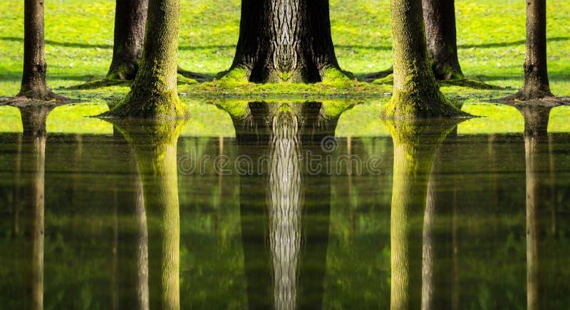 树的反射在被充斥的森林里 库存图片