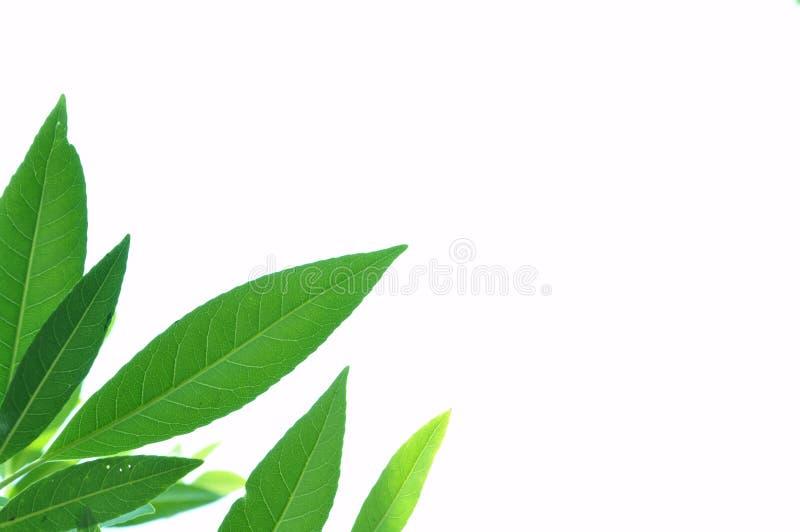 树的叶子是隔离 免版税库存图片