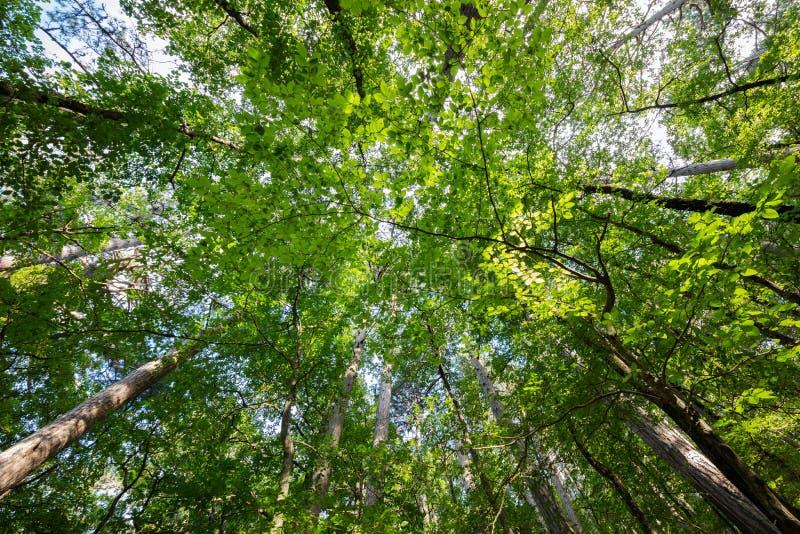 树的品种冠在春天反对蓝天的森林与太阳 树的底视图 免版税库存图片