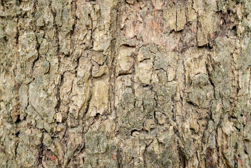 树的壳表面的特写镜头 明显地看见样式 免版税图库摄影