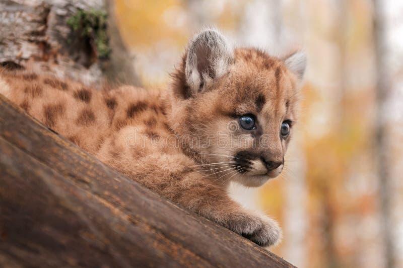从树的女性美洲狮小猫(美洲狮concolor)注视 免版税库存照片
