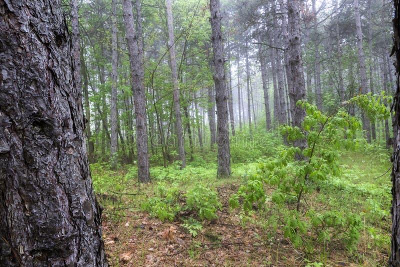 树的有雾的森林 免版税库存图片