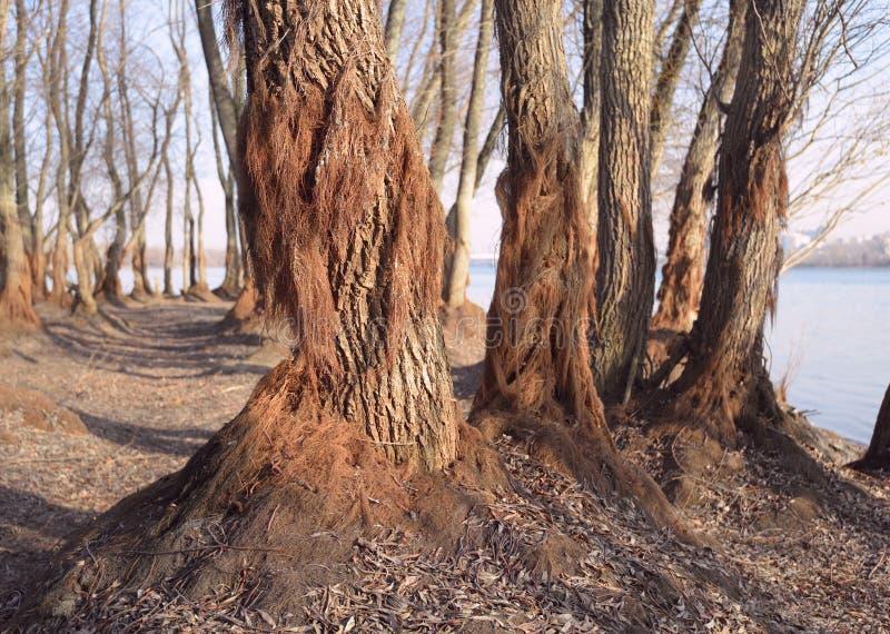 树的树干与干燥海藻的在河 免版税库存照片