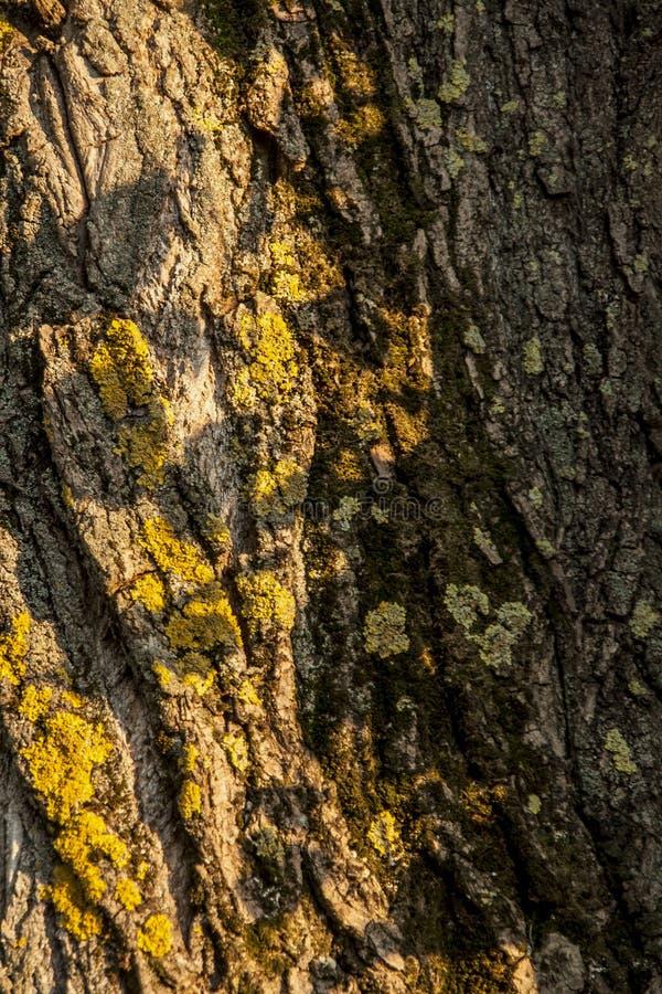 树的树干在青苔的 库存图片