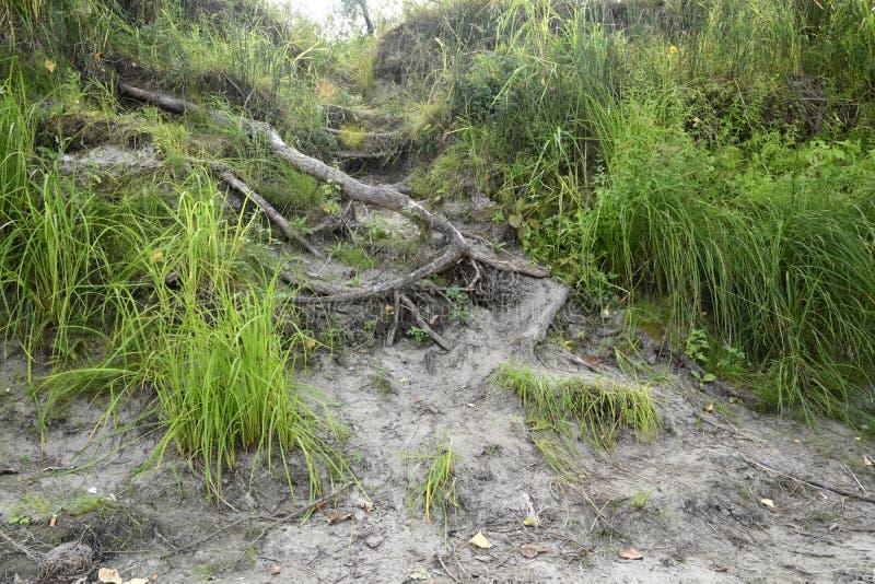 树的根从地面出来对表面并且担当梯子 照片在一个夏日拍了 免版税库存照片