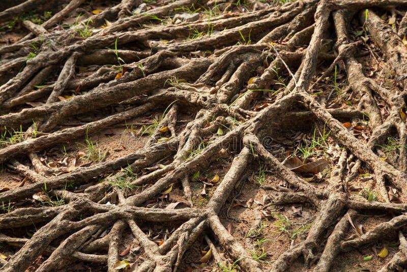 树的根。 免版税图库摄影