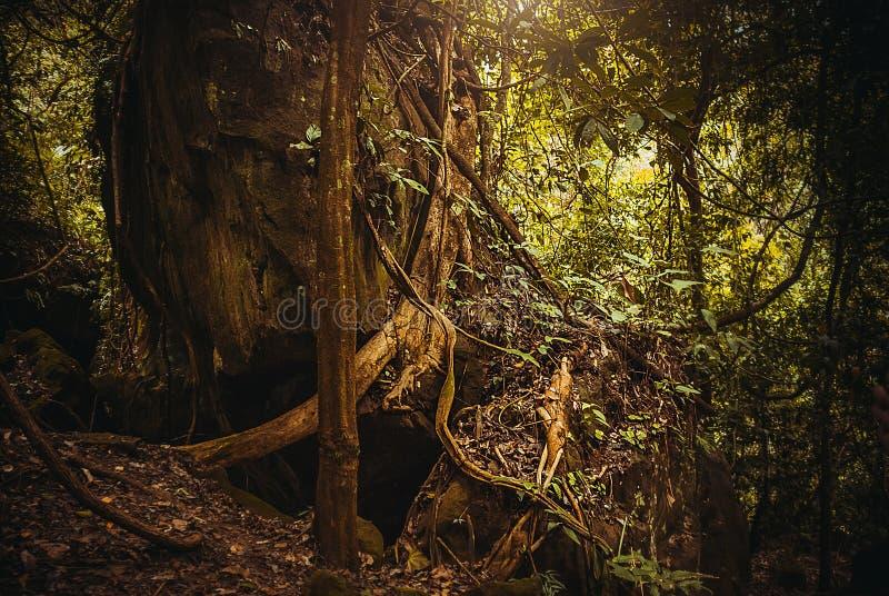 树的根在密林 自然雨林热带雨林风景 马来西亚,婆罗洲,沙巴 库存照片