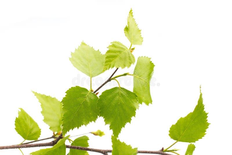 树的桦树叶子。 库存照片