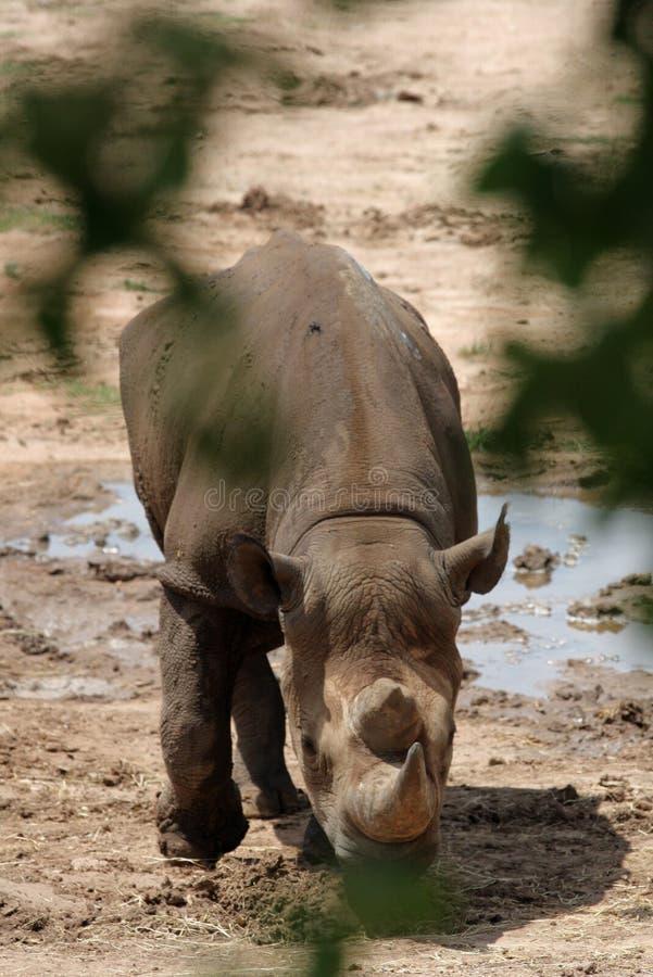 从树的犀牛景色 库存图片