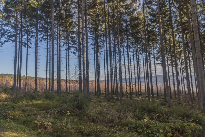 树的美好的图象与他们的非常长的树干、草丛和绿草的 库存图片