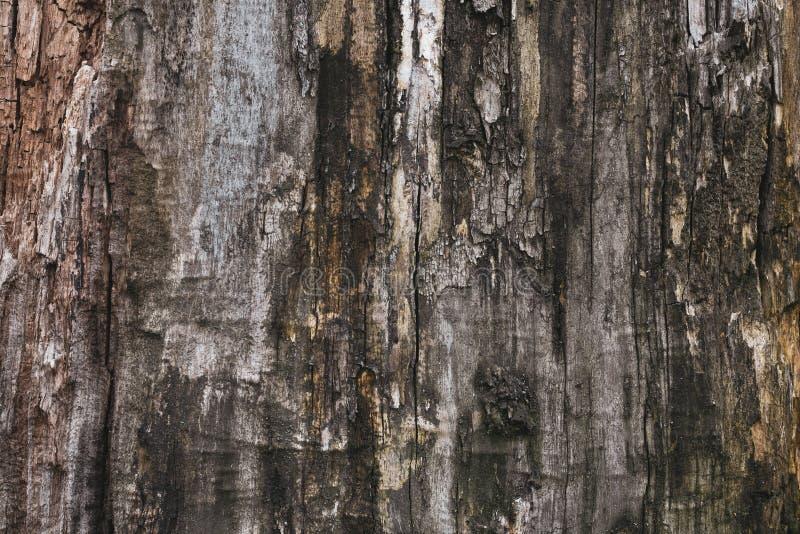 树的老灰色吠声 黑暗的肮脏的棕色树皮 木灰色纹理,背景 难看的东西木表面 自然抽象啪答声 库存照片
