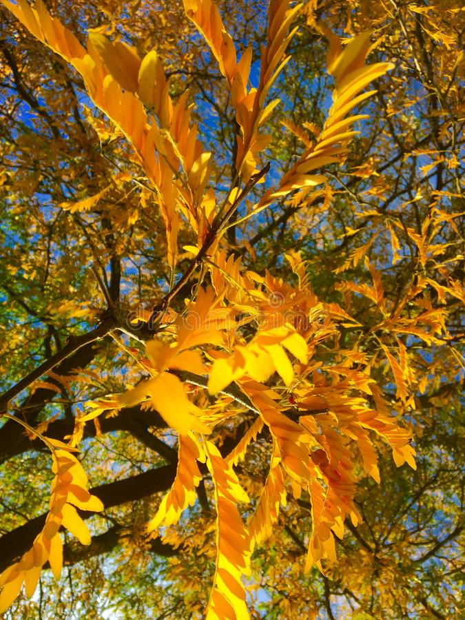 树的黄色叶子在秋天泽沃德 免版税库存图片