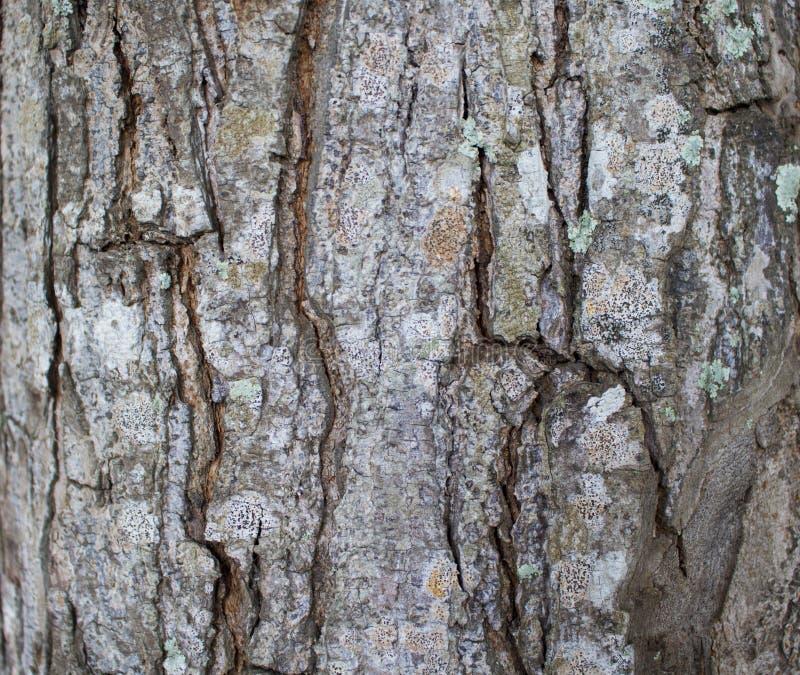 树皮照片的纹理关闭 布朗和灰色木背景 库存照片