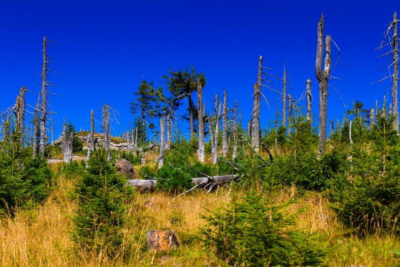 树皮甲虫毁坏的森林。 库存图片