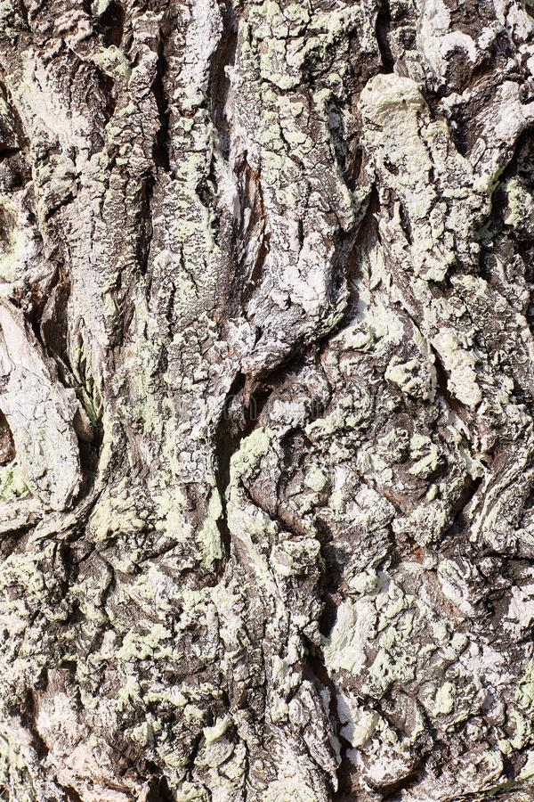 树皮纹理特写镜头 免版税库存照片