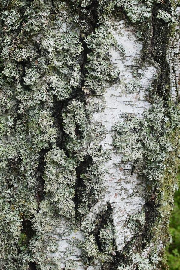 树皮纹理背景 免版税库存图片