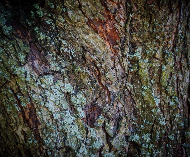 树皮老杉木森林背景的纹理  图库摄影