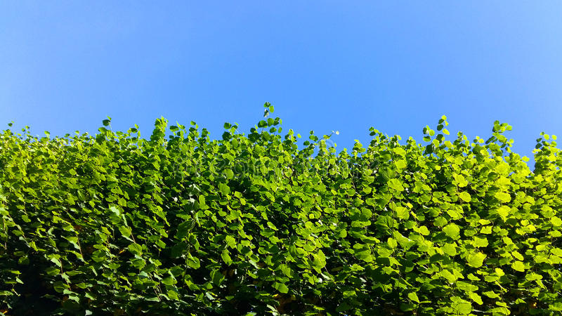 树篱和天空 库存照片