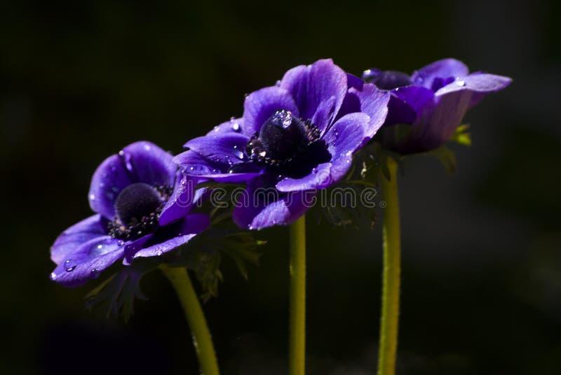 树紫色银莲花属在黑暗的背景中 免版税库存照片