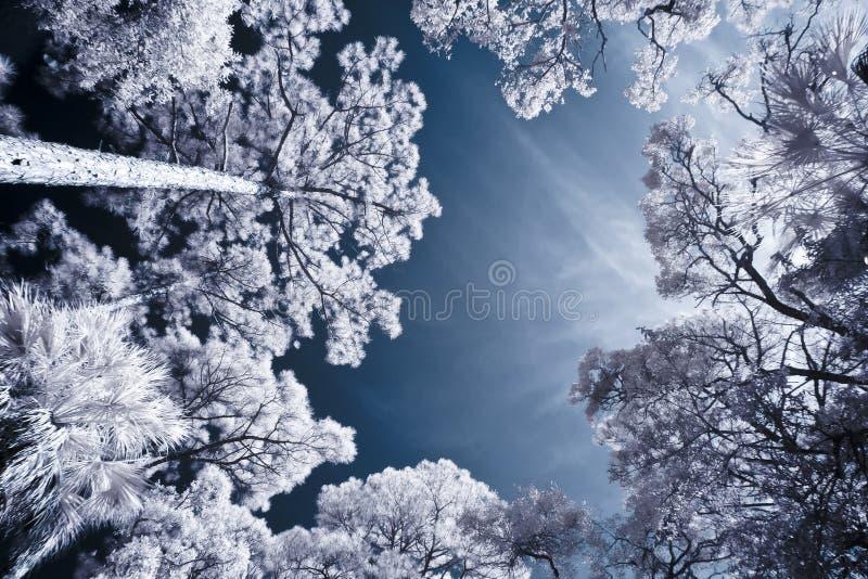 树和天空红外射击  免版税图库摄影