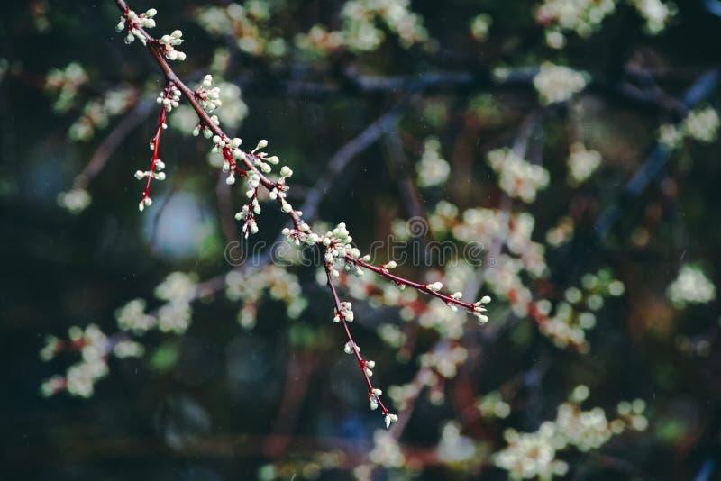 树绽放在春天 库存图片