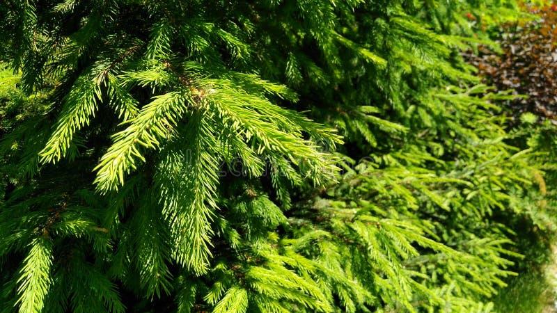 树绿色云杉的夏天分支 库存图片