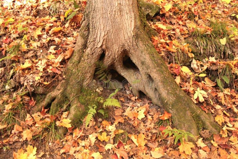 树美好的根  免版税库存照片