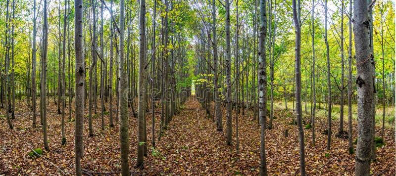 树胡同在秋天森林里 库存图片