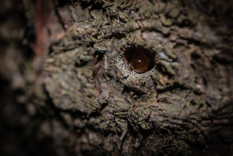 树脂下落在树的吠声 图库摄影