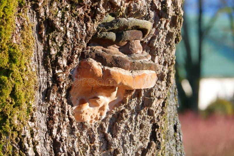 树腐烂和真菌 免版税库存图片