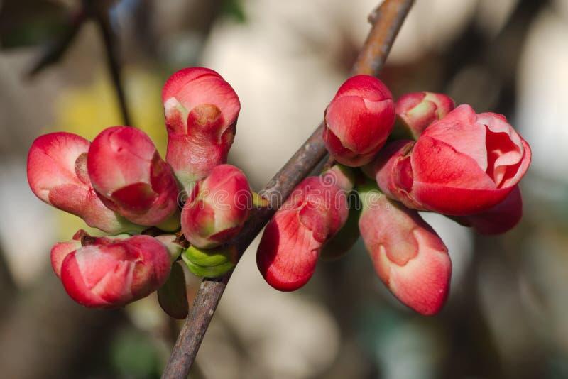 树花的芽 免版税图库摄影
