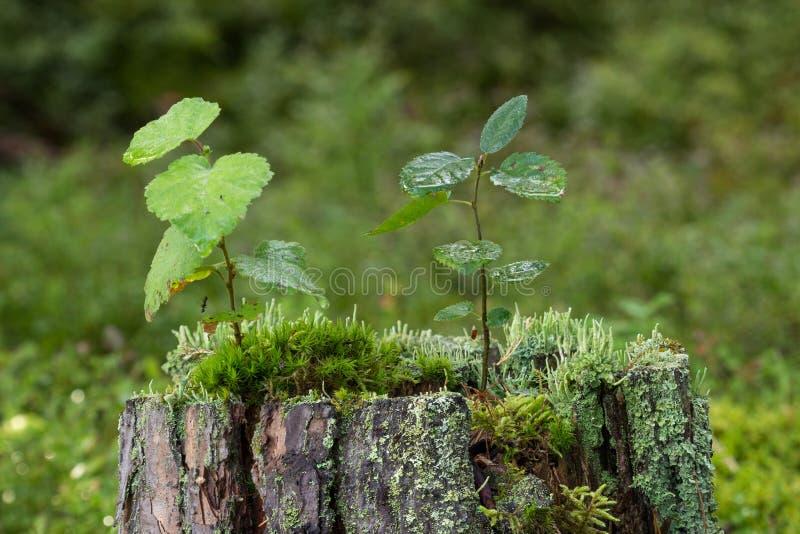 树苗、青苔和地衣特写镜头在树的树桩顶部 免版税图库摄影