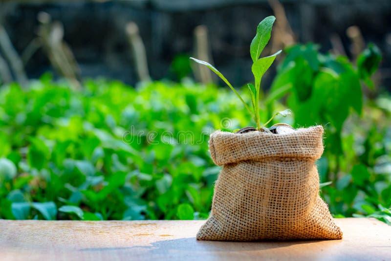 树苗植物在金钱大袋袋子在一个室外庭院里 免版税图库摄影