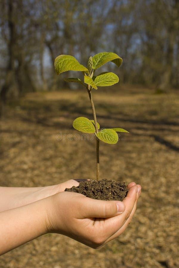 树苗结构树 免版税库存图片