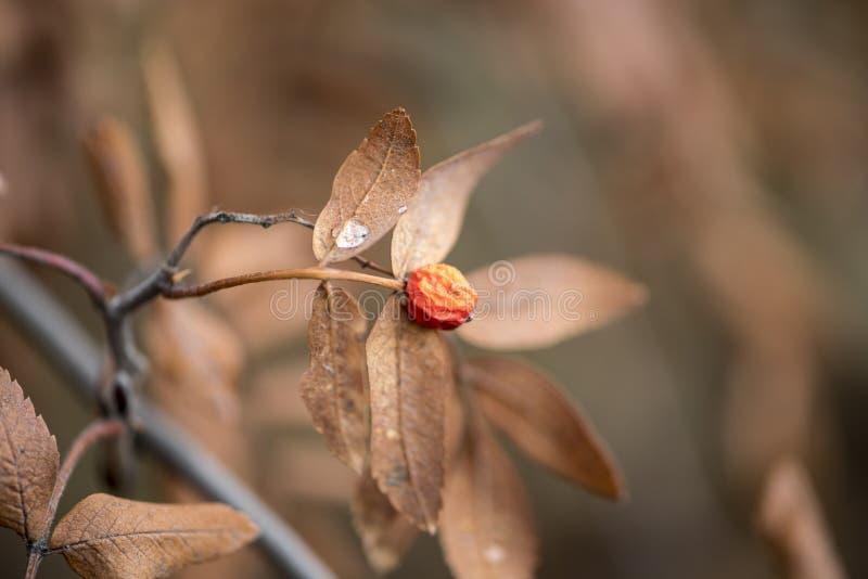 树莓丛林中冬加拿大冬青 免版税库存照片