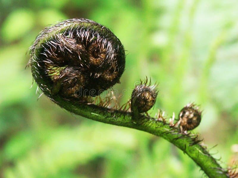 树蕨芽 免版税库存图片