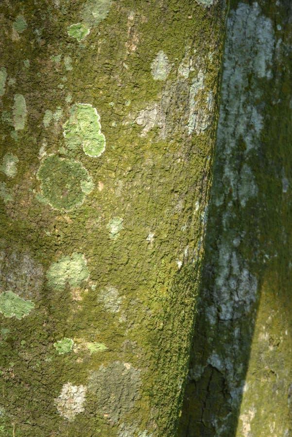 树表面上的地衣 库存照片