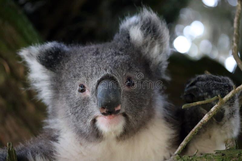 树袋熊是一个有袋动物的哺乳动物澳大利亚人,南澳大利亚 免版税库存图片