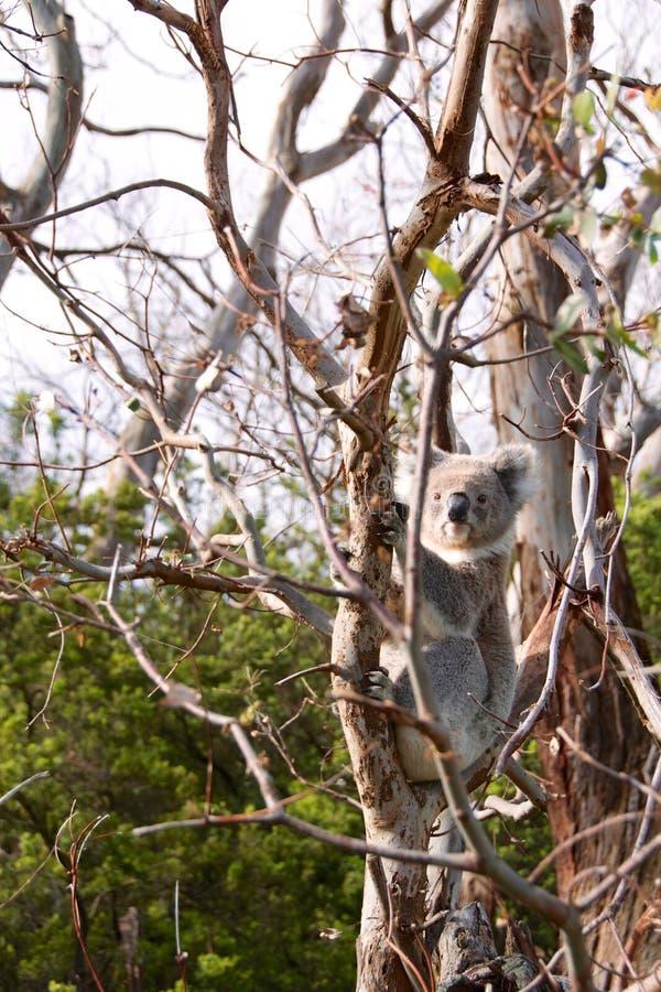 树袋熊 库存照片