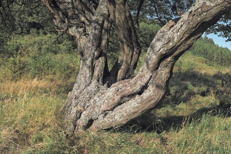 树被复的树干在塞尔维亚 免版税库存图片